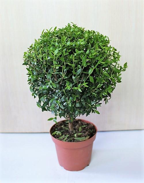 Sveikatinantys kambariniai augalai: gydo, ramina nervus
